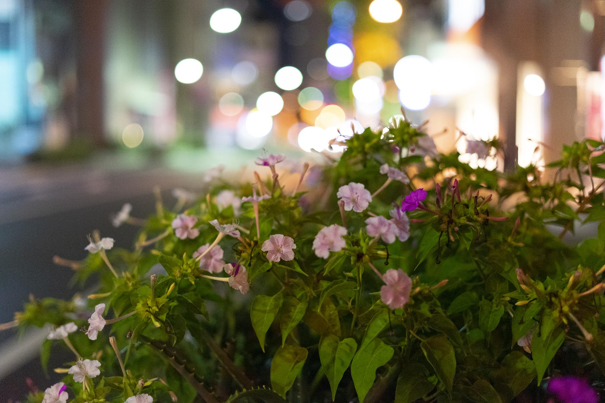 オシロイバナは夕方から咲く。