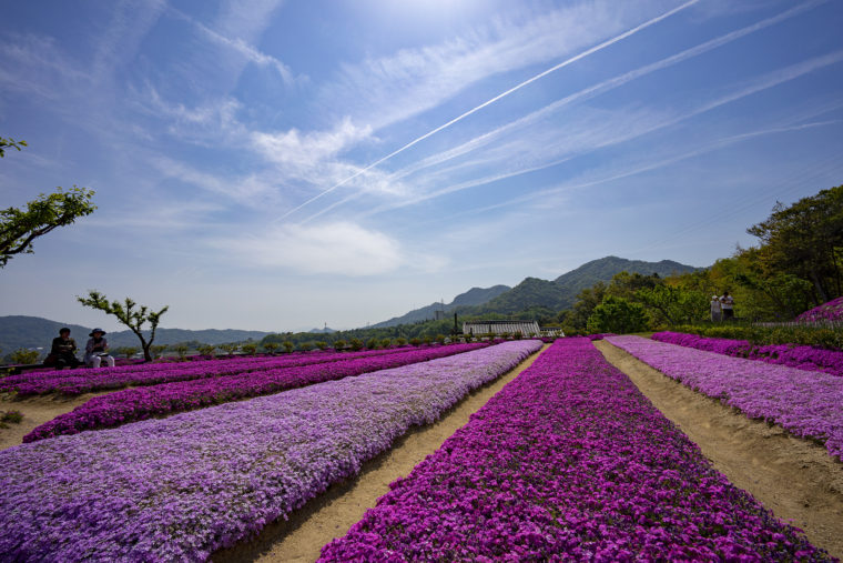 芝桜富士平坦な場所