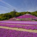 香川県で一面の芝桜「東かがわ市帰来の芝桜富士」