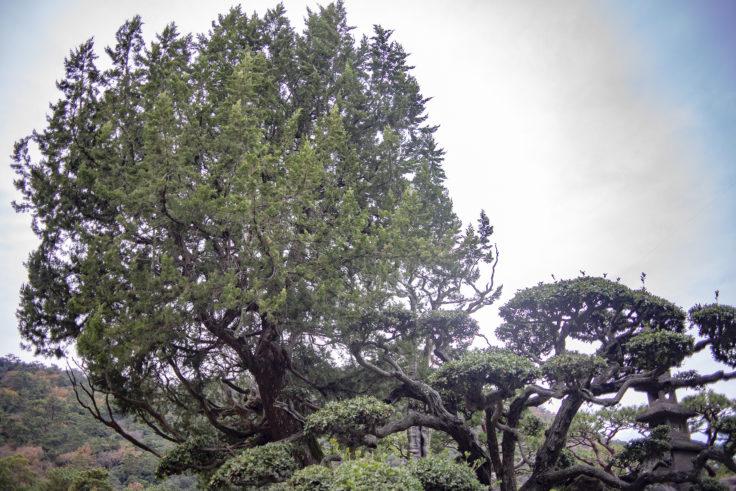 天女嶋の木