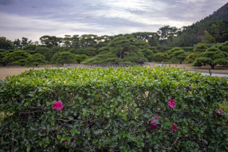 栗林公園の山茶花