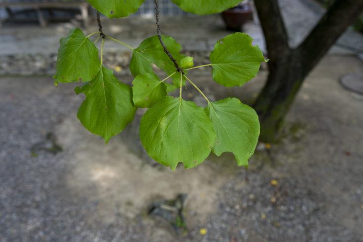 アンズの葉っぱ