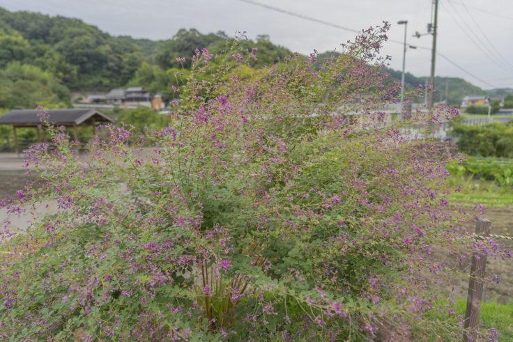 最明寺の駐車場に咲くハギ2