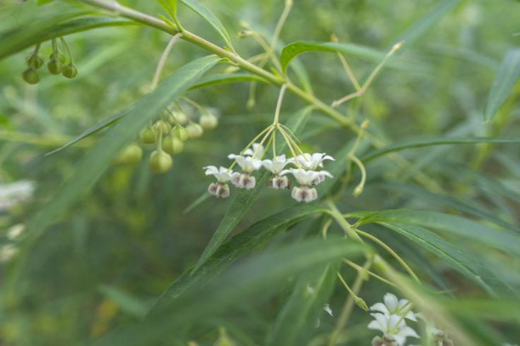 最明寺のフウセントウワタの花2