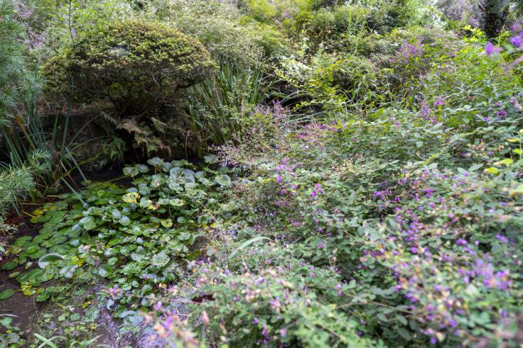 最明寺南の庭のハギ2