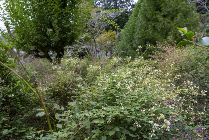 最明寺南の庭のハギ4