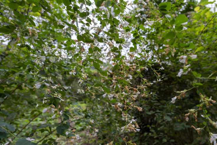 最明寺南の庭のハギ5