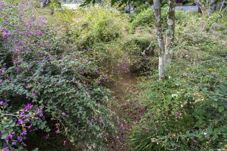 最明寺南の庭のハギ6