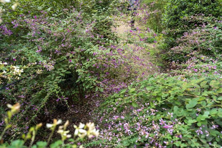 最明寺南の庭のハギ7