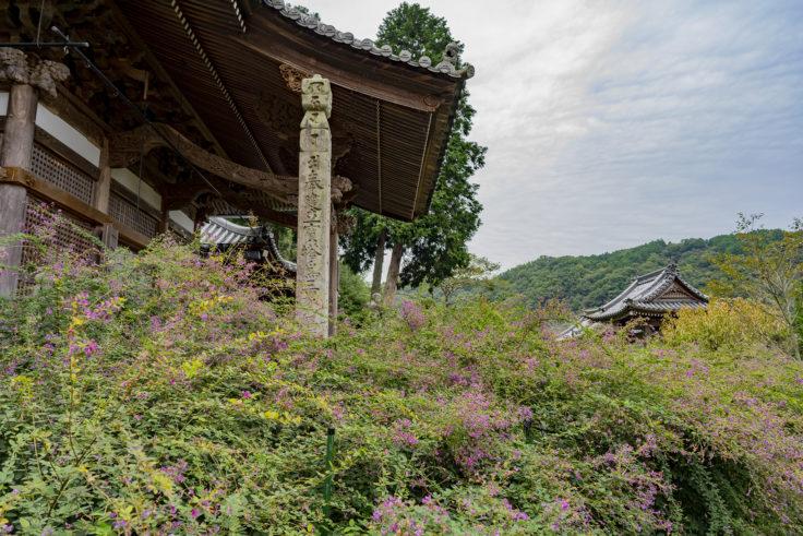 最明寺境内のハギ7