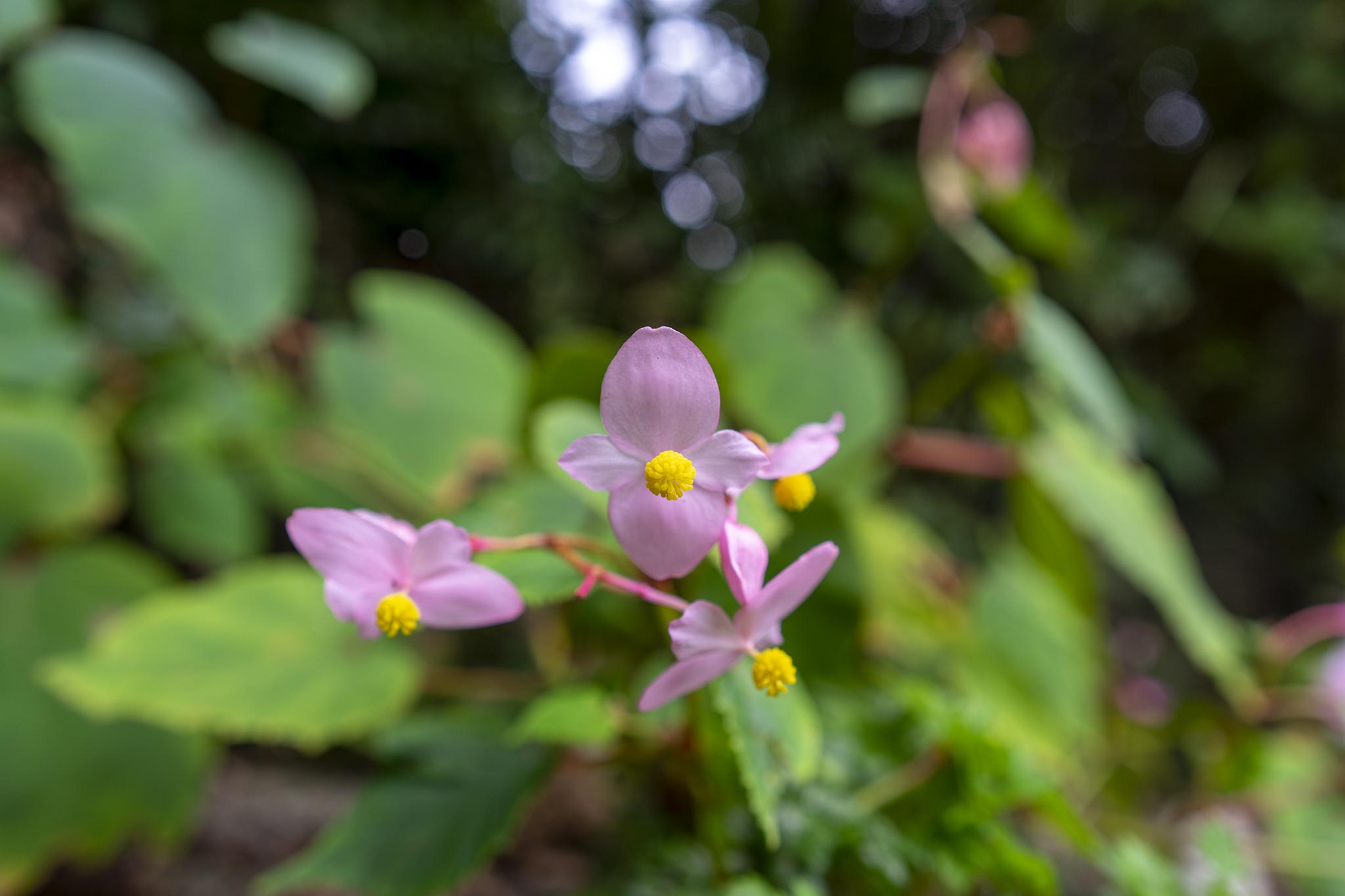 シュウカイドウの花言葉と誕生花