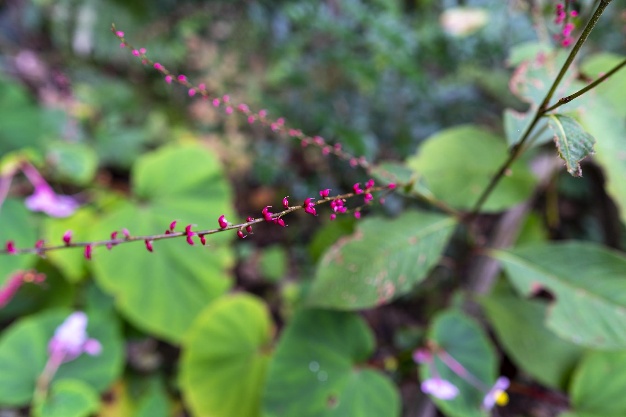 ミズヒキの花言葉と誕生花