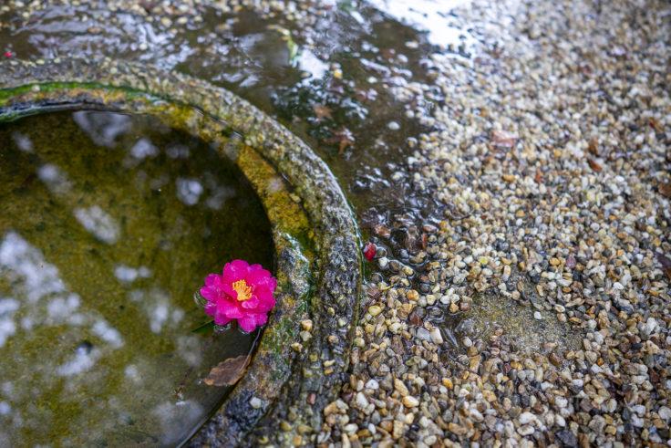 神戸酒心館の山茶花