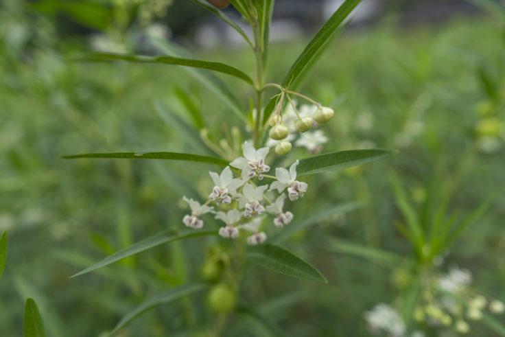 最明寺のフウセントウワタの花