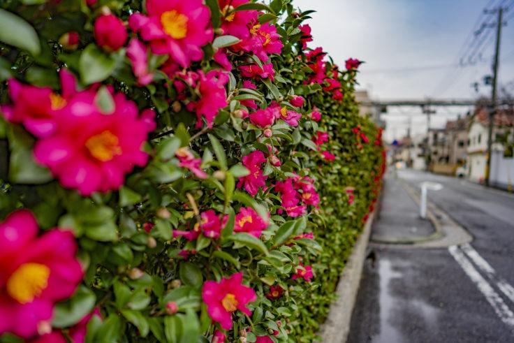 白鶴の山茶花