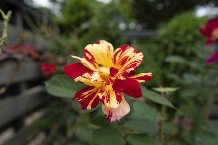珍しいバラ