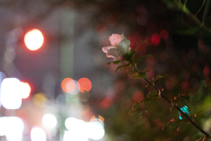 夜のムクゲ