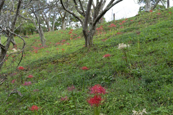 みろく自然公園のヒガンバナ9