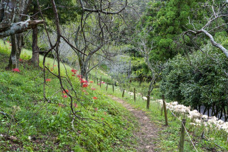 みろく自然公園のヒガンバナ13