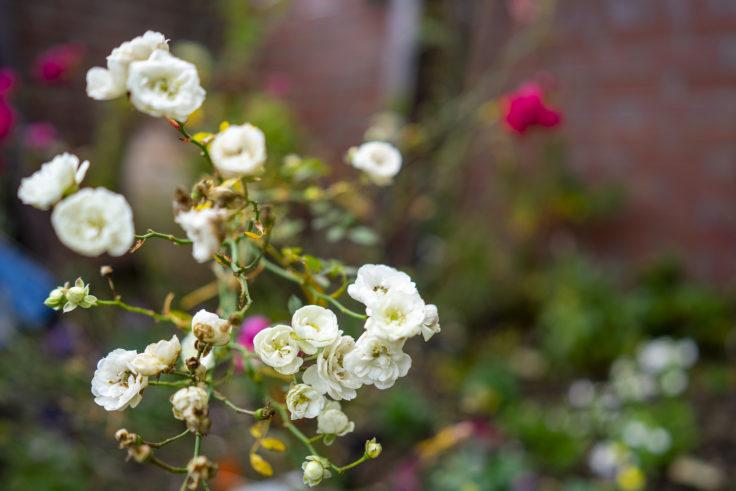 北野異人館英国館イングリッシュガーデンのバラ