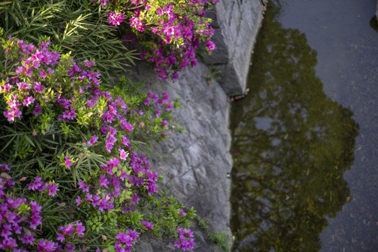仏生山公園の川べりのツツジ