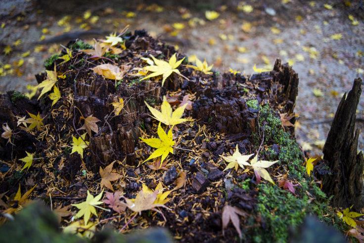 龍安寺の紅葉落ち葉2