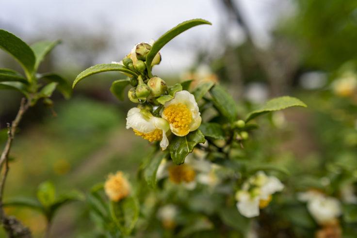 チャノキの花2