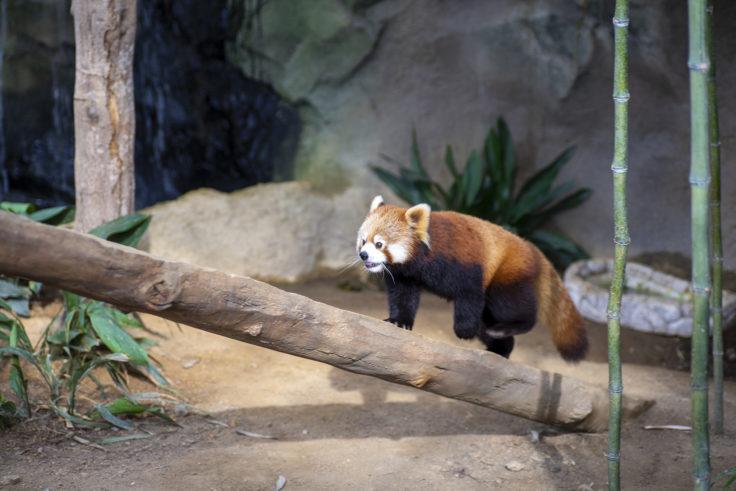 神戸どうぶつ王国のレッサーパンダ