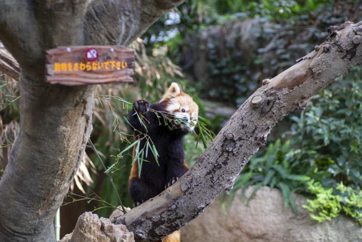 神戸どうぶつ王国の餌を食べるレッサーパンダ