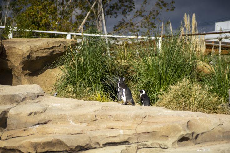 神戸どうぶつ王国のケープペンギン