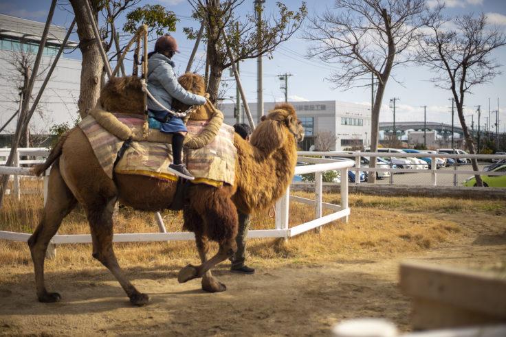 神戸どうぶつ王国のフタコブラクダ