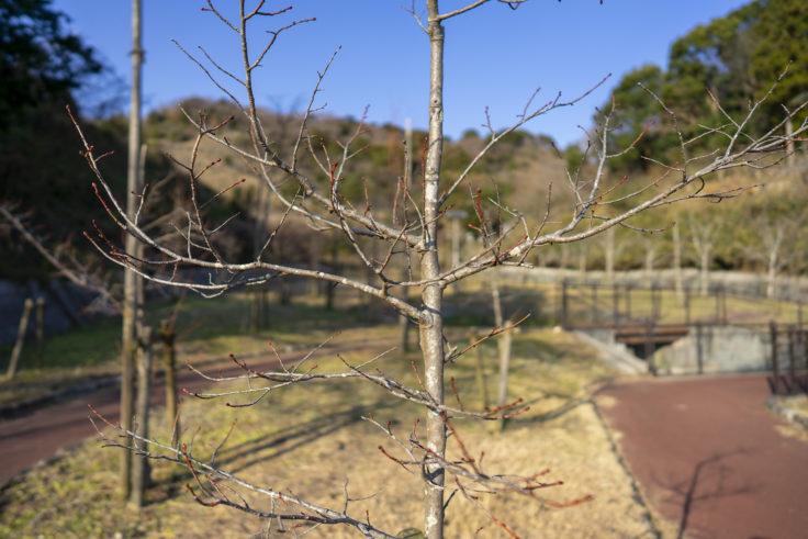 板東俘虜収容所菩提樹
