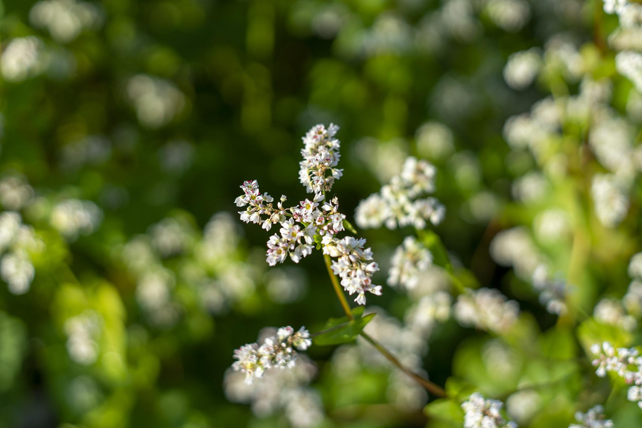 ソバの花言葉と誕生花