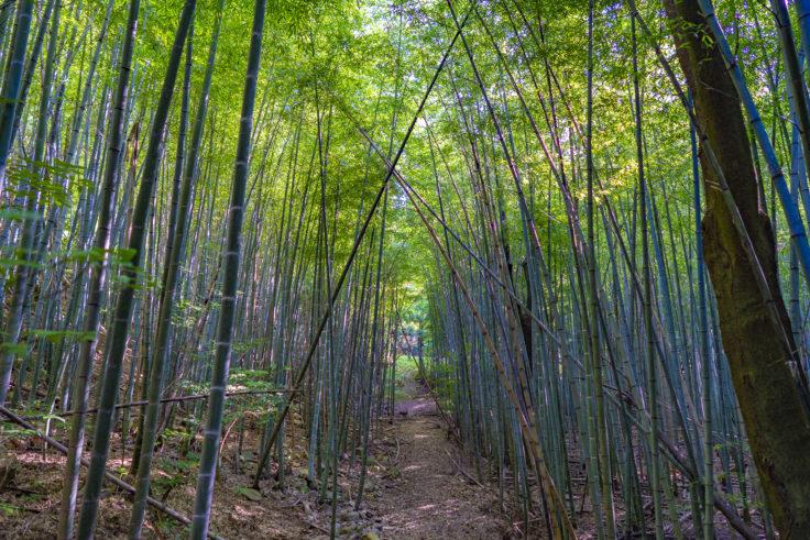 大麻山竹林2