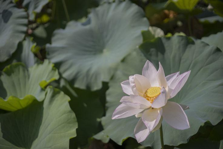 花葉の池蓮の花