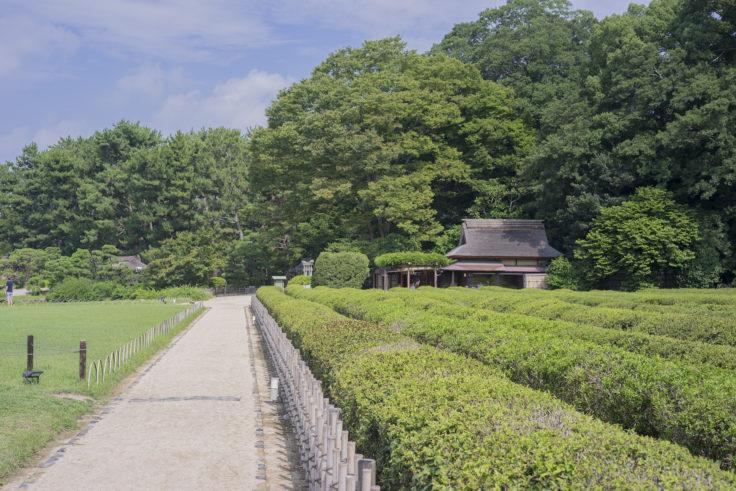 後楽園の茶畑