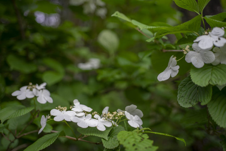朝日酒蔵の紫陽花