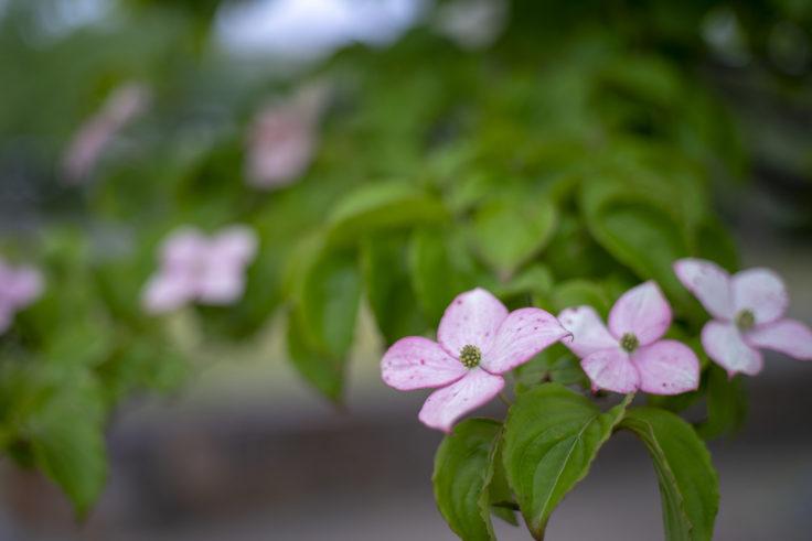 仏生山公園のヤマボウシ