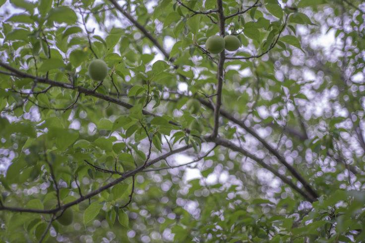 仏生山公園の梅