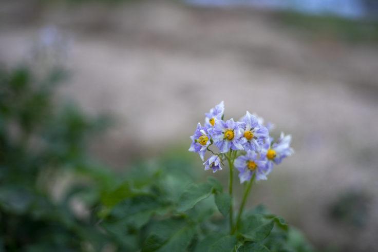 仏生山公園のジャガイモの花
