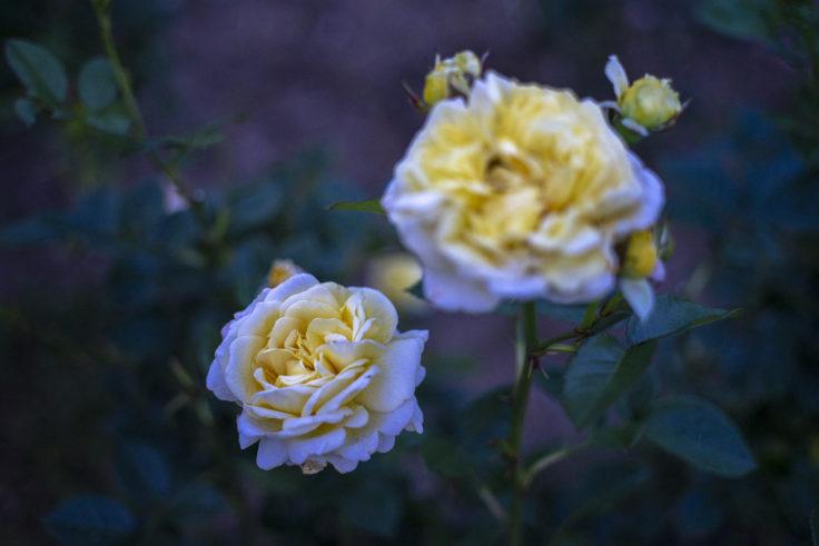 仏生山公園の黄色のバラ