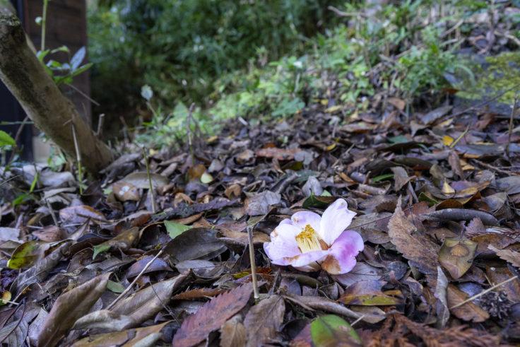 岩部八幡神社のツバキ