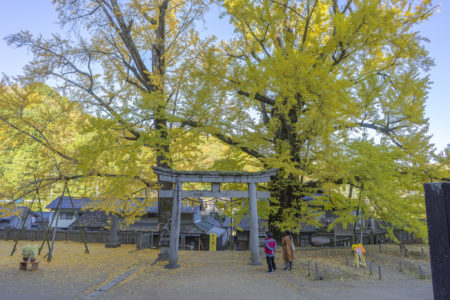 岩部八幡神社のイチョウ黄葉