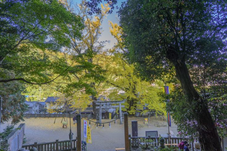 岩部八幡神社のイチョウ黄葉7