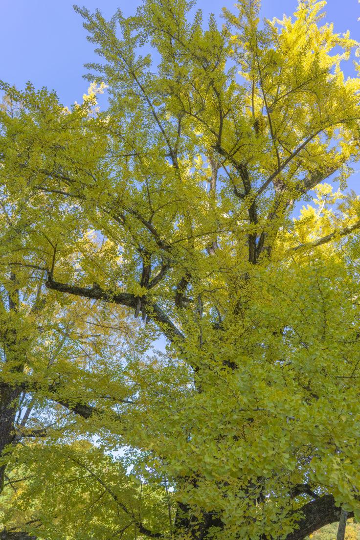 岩部八幡神社のイチョウ黄葉2