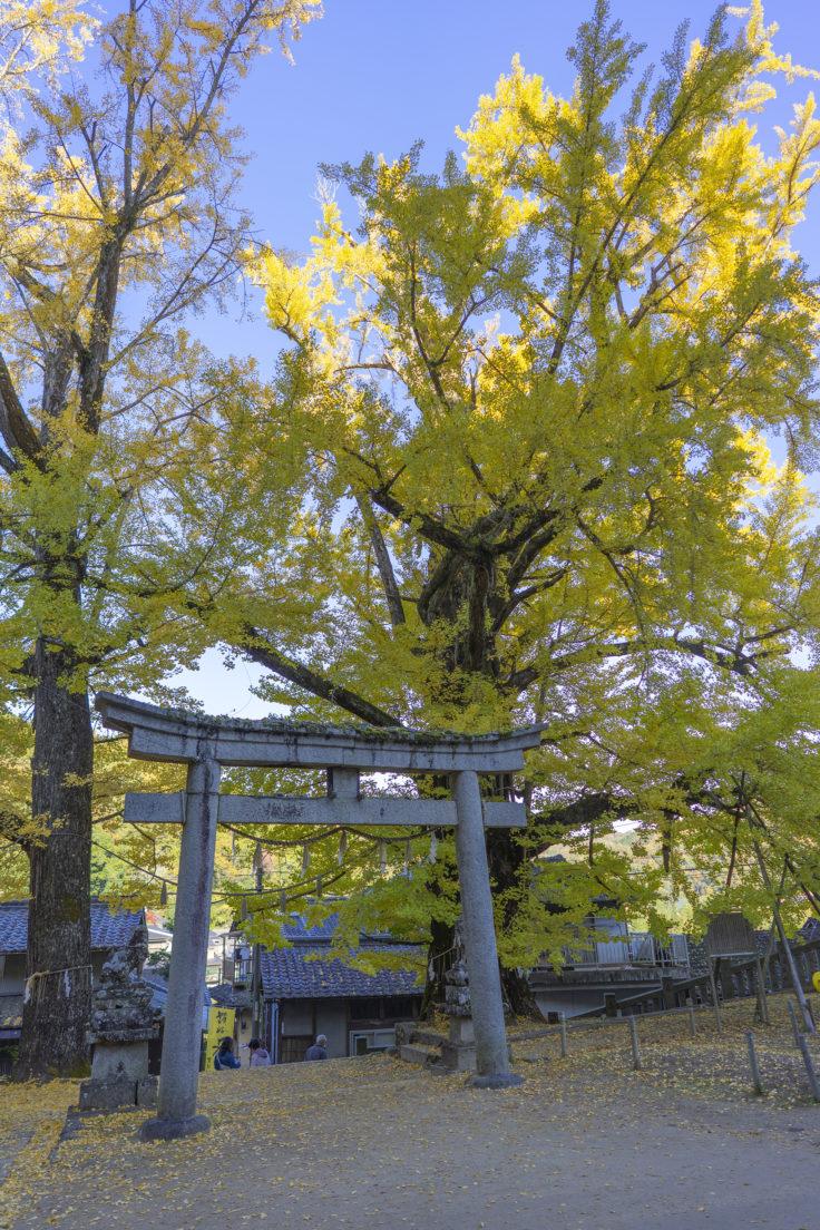 岩部八幡神社のイチョウ黄葉4