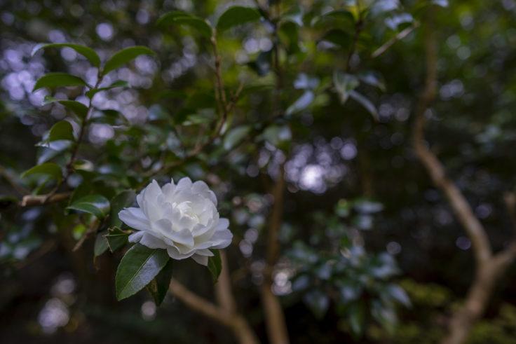 岩部八幡神社の白いサザンカ