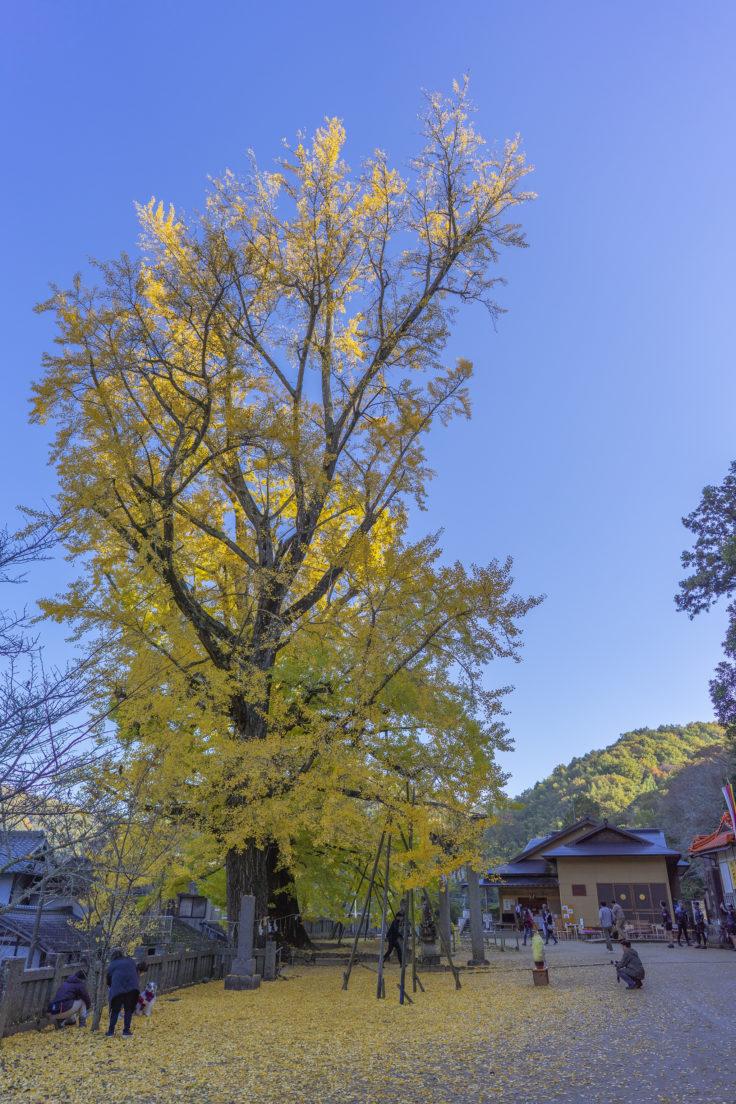 岩部八幡神社のイチョウ黄葉6