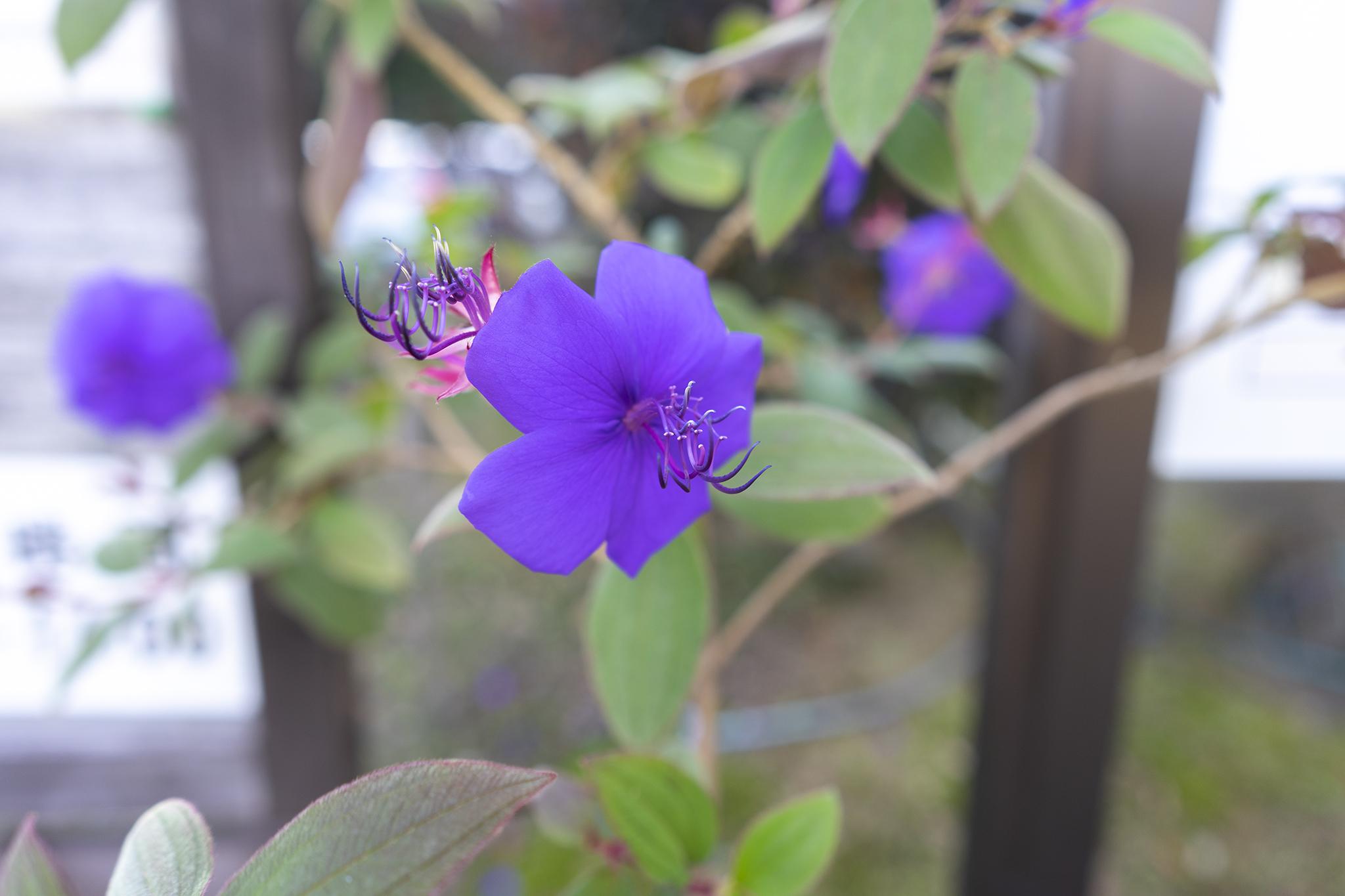 ノボタンの花言葉と誕生花