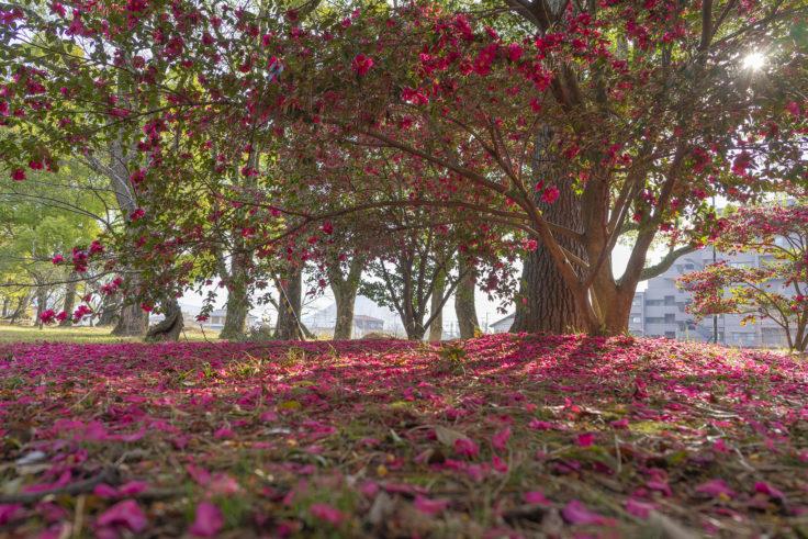 丸亀城のサザンカ5